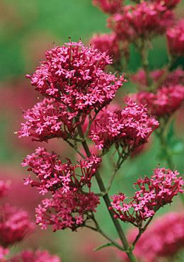 Red valerian adds a pop of hot pink to any garden. It's easy to grow and is loved by several butterflies, hummingbird hawkmoths and some bumblebees #homesfornature