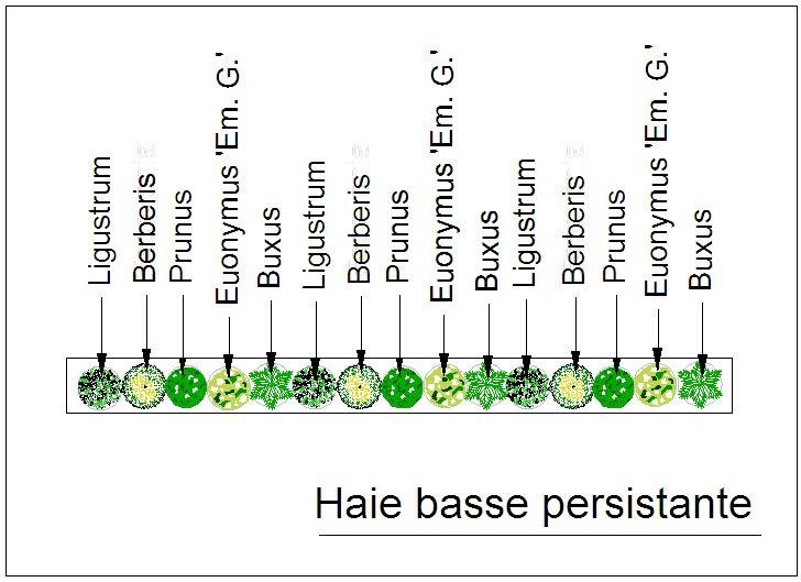 Composition 3 Buxus sempervirens 'Pyramidalis' 3 Berberis 'Candidula Jytte'' 3 Euonymus fortunei 'Emerald Gold' 3 Euonymus pulchellus 3 Prunus caucasica 'nana'