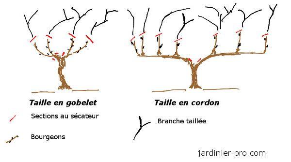 Taille De La Vigne Taille En Guyot Gobelet Et En Cordon Jardinier Pro Taille Vigne Vigne Taille Des Arbres