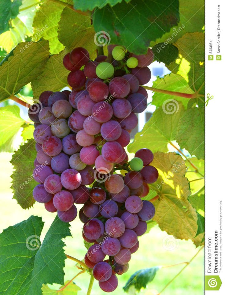 Pictures Of Grapes On Vines More Similar Stock Images Of