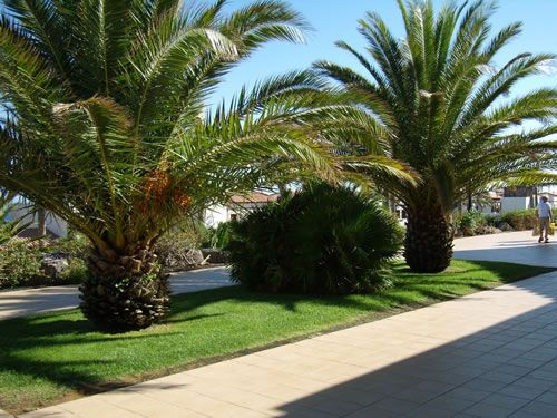 @Tai LaVergne Towns #Tail Towns I love this short Palm trees.. it would be nice to have something like this in TTF.