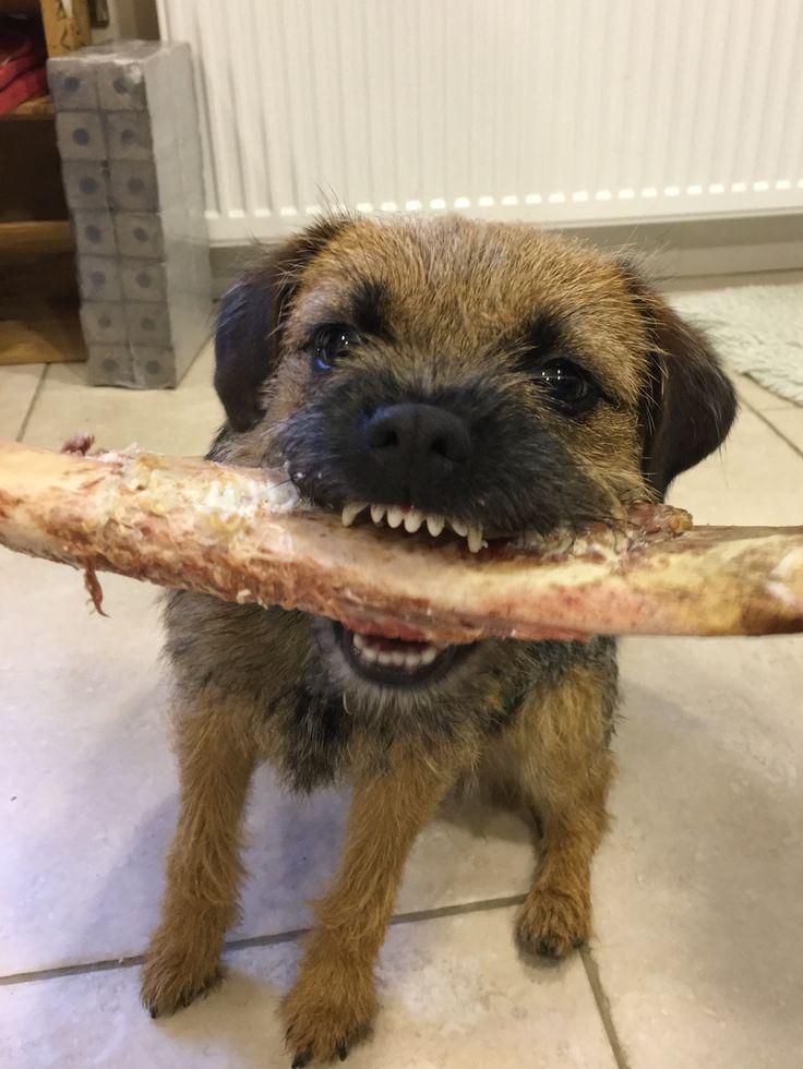 Border Terrier tackling a bone