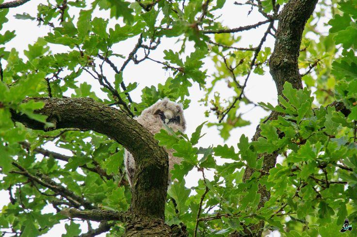 Jonge Ransuil [hoog in de boom naast een veld tussen Dorpsstraat en Woerthe in Uffelte]
