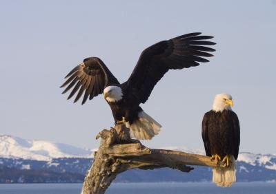 Difference Between Male & Female Bald Eagles (with Pictures)