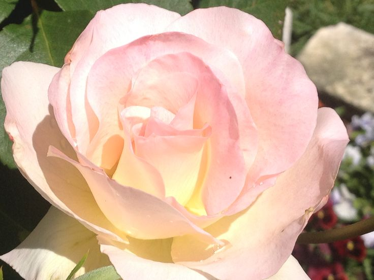 White rose with tinges of yellow and pink