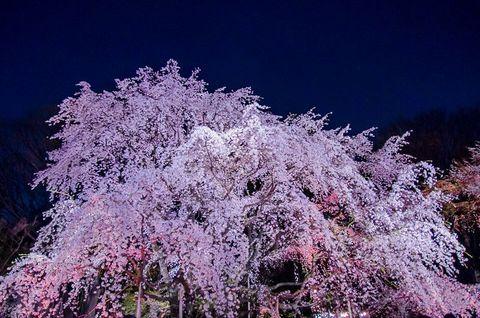 魅力的な桜スポットの点在する、春の東京。中でも山手線駒込駅にほど近い大名庭園「六義園」は、見事なしだれ桜が咲くことで有名です。そして、夜には「しだれ桜と大名庭園のライトアップ」が催される、都内屈指の夜桜の名所でもあります。今回は、東京の春夜を艶やかに彩る、美しすぎる六義園の見所をご紹介します。