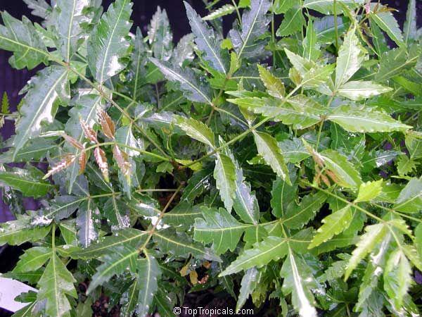 El Neem - Propiedades del Neem, qué contiene, para qué sirve - Herbal de Chiapas