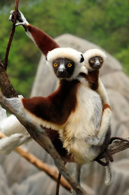 sifakas are a species of lemur and, like all lemurs, are found only in Madagascar.