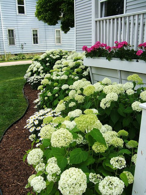 My Favorite Annabelle Hydrangea...perfect For Our Michigan Weather.  Anabelle HydrangeaFront House ...