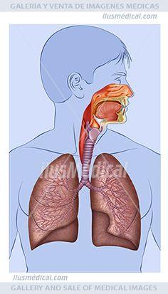 Ilustración Sistema respiratorio del cuerpo humano. Ilustración con un fondo en ....