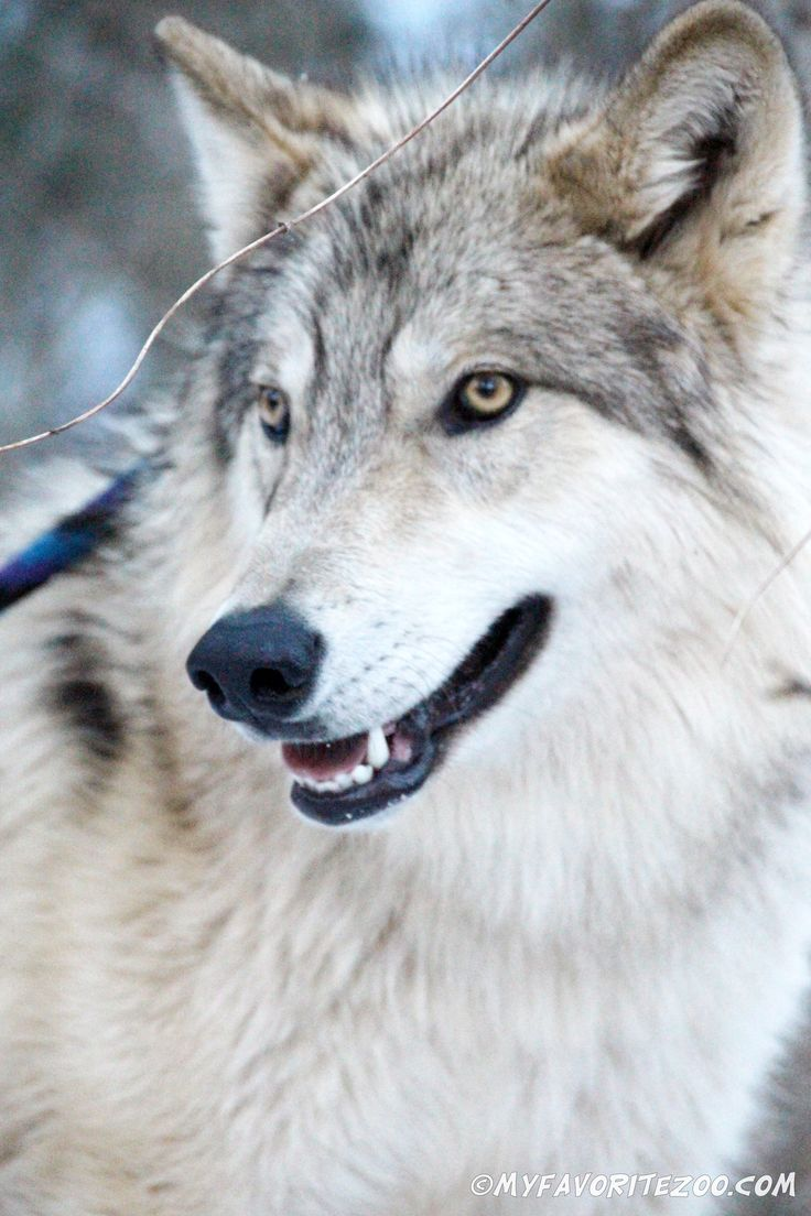 Wolf hybrid puppies for sale in ohio - Wolf Ambassadors Join Our Facebook Group To Follow The Wolves Pictures And Regular Updates