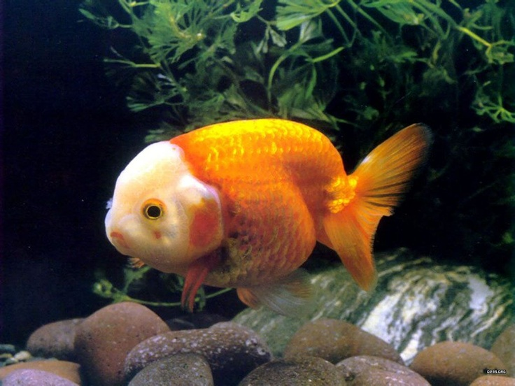 65 best images about goldfish on pinterest for Tropical fish pond