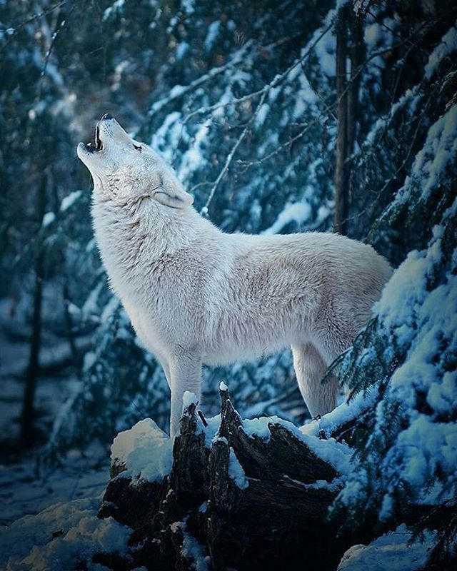 White Wolf  Photo by ©Michael Schönberger #wildlifeowners - SAVE THE WOLVES