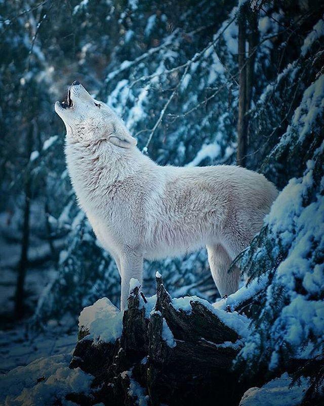 White Wolf  Photo by ©Michael Schönberger #wildlifeowners