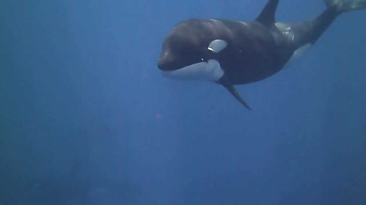 Snorkeling with orcas: Wicked Expeditions Indonesia.