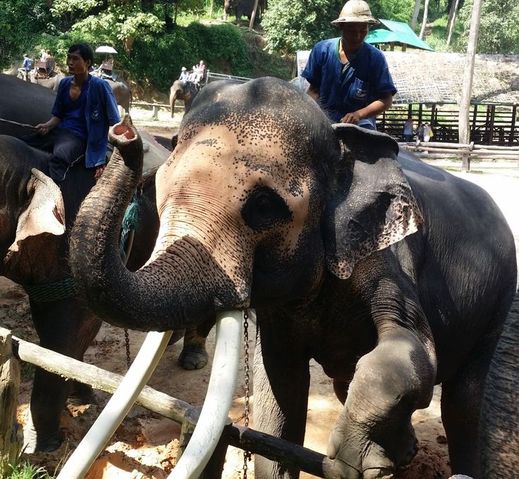 Maesa Elephant Camp one of the many day trips from Chiang Mai Thailand. #maesaelephantcqamp #travel #chiangmaithailand