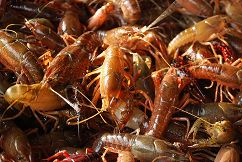 Live Purged Crawfish, Live Crawfish for sale houston, live crawfish the crawfish company