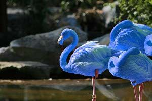 """Blue Flamingo: Discovered 2012 in Galapagos Islands. Only 13 are known to exist across the world.  South American Blue Flamingos do not get along well with the American flamingos oddly, they screech & peck at each other. """"We were surprised when we had to separate the birds. Why they didn't cooperate is still a mystery to us, since both birds are flamingos."""" The blue flamingo eats a diet of the bluefish & shrimp that live around the island, which is supposedly the flamingo's feathers are…"""