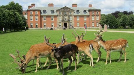 Fallow deer in front of Dunham Massey Hall