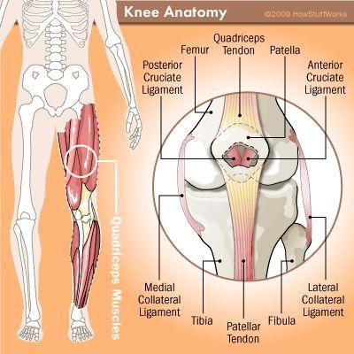 Anatomy of the Knee - HowStuffWorks