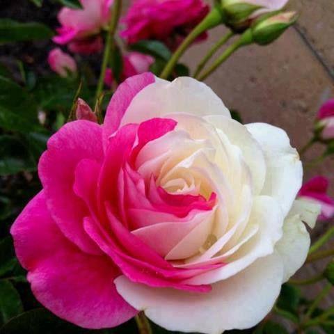 duas cores em uma só rosa.
