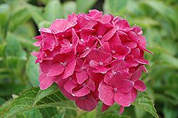 Click to view large photo of Pink Elf Dwarf Hydrangea (Hydrangea macrophylla 'Pink Elf') at Oakland Nurseries Inc