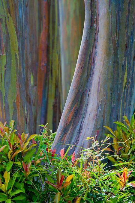 Arcobaleno vegetale    Nella foresta pluviale di Maui, alle Hawaii, dopo uno dei consueti acquazzoni tropicali, è uscito dalle nuvole un raggio di sole. Mi aspettavo di vedere un arcobaleno, ma questo è un posto dove per vederlo non serve guardare il cielo: davanti ai miei occhi una piccola foresta di eucalipto arcobaleno, illuminati timidamente dal sole. Spettacolari nella loro straordinarietà.