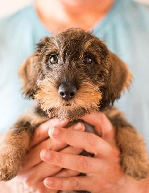 Never considered getting a wire until I saw how frigging cute the puppies are. I do love an animal with a moustache!
