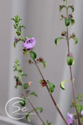 Life as Mrs. Popham: No Expert - Stylidium Productum - Trigger Plant Flower