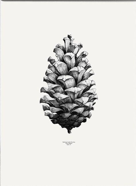 Pine cone black and white