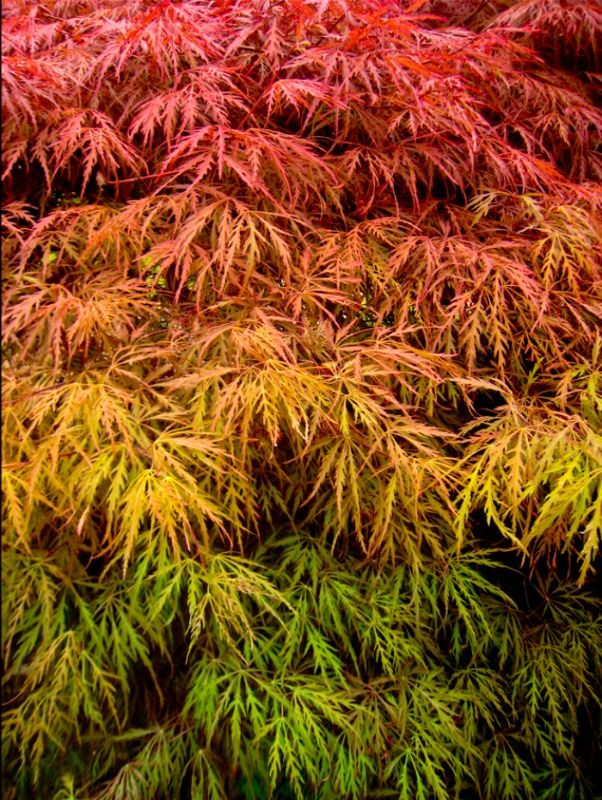 Laceleaf Weeping Japanese Maple tree (Acer Palmatum Dissectum) http://www.gardenoohlala.com/