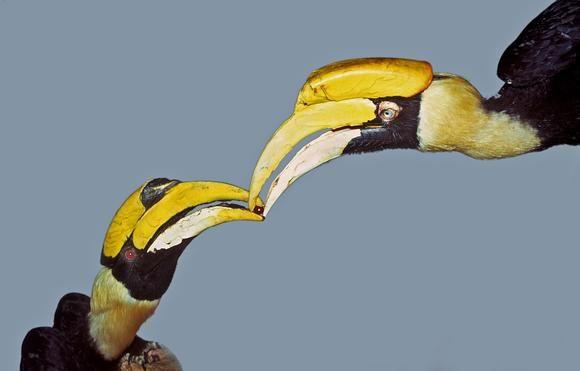 Hornbills Courtship Feeding