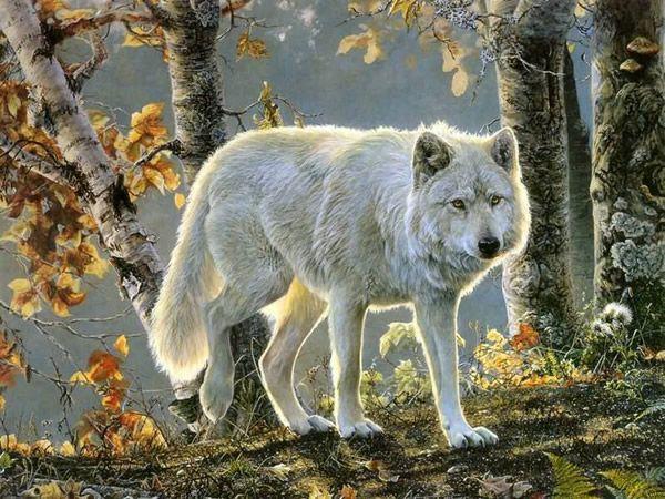 Lobo Branco caminhando em floresta no outono