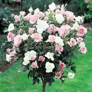 Twin Colour Iceberg & Bonica Patio two roses on one bush. Grafted standard rose.