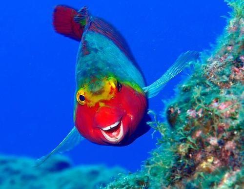 Very Rare Caribbean Clown Snapper -- happy fish is happy