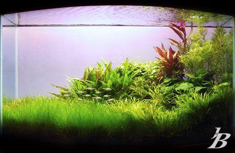 Planted Aquarium - Serenity Dimensions: 90x45x55cm pH: 6.7 KH: 10 GH: 12  Lighting: 2x55 Power Compact (6700k) On a timer for 9 hours a day Substrate: Flourite  Flora: Alternanthera Reineckii, Anubias Coffefolia, Cryptocorne wendtii, Eleocharis acicularis, Blyxa Japonica, Lobelia Cardinalis 'small', Pogostemon Stellatus Broad