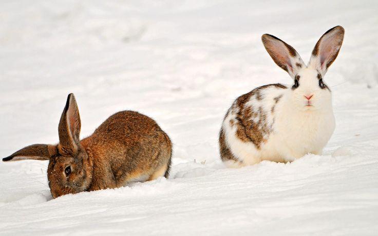 rabbits-animal-wallpaper-1920x1200-546