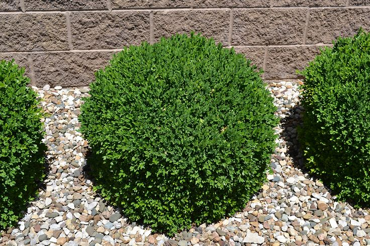 Green Velvet Boxwood is a great low maintenance evergreen plant. for side of the house