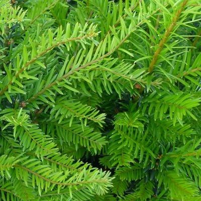 78 id es propos de haie persistant sur pinterest haies plante persistan - Arbre ornemental feuillage persistant ...