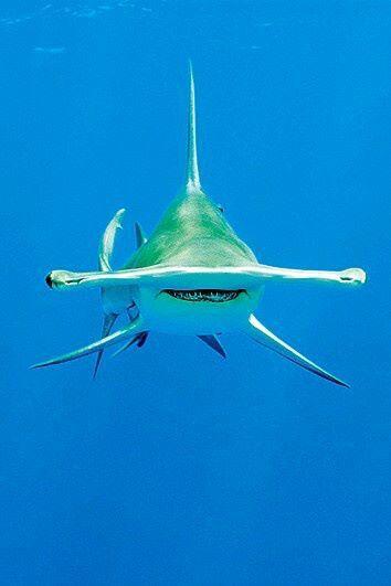 Tiburón martillo, el tiburón sólo escolaridad.