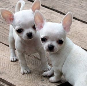 Snow White Chihuahua Puppies Cute Bit of Fluff