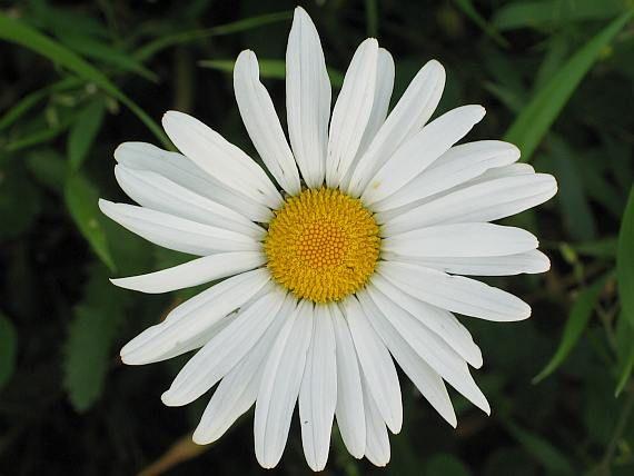 Kopretina (Leucanthemum Mill., 1754) je rod přibližně 33-70 druhů rostlin z čeledi hvězdnicovitých (Asteraceae).