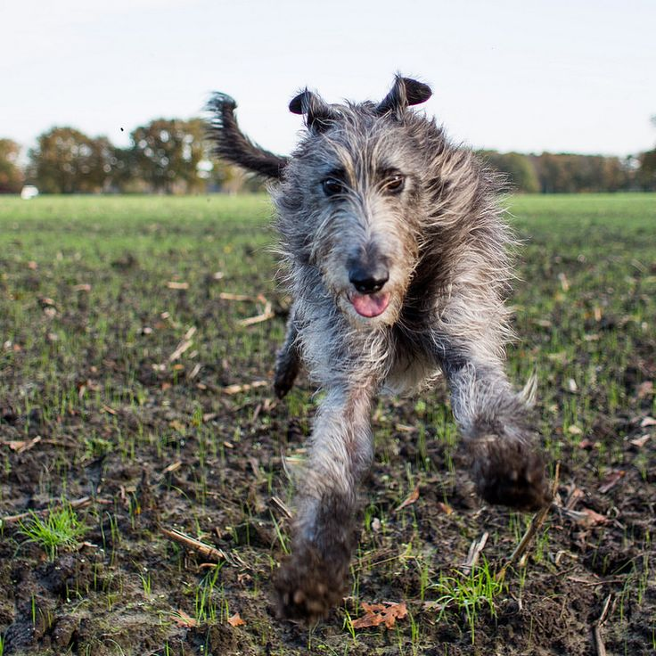 17 Best images about Irish Wolfhounds on Pinterest ...