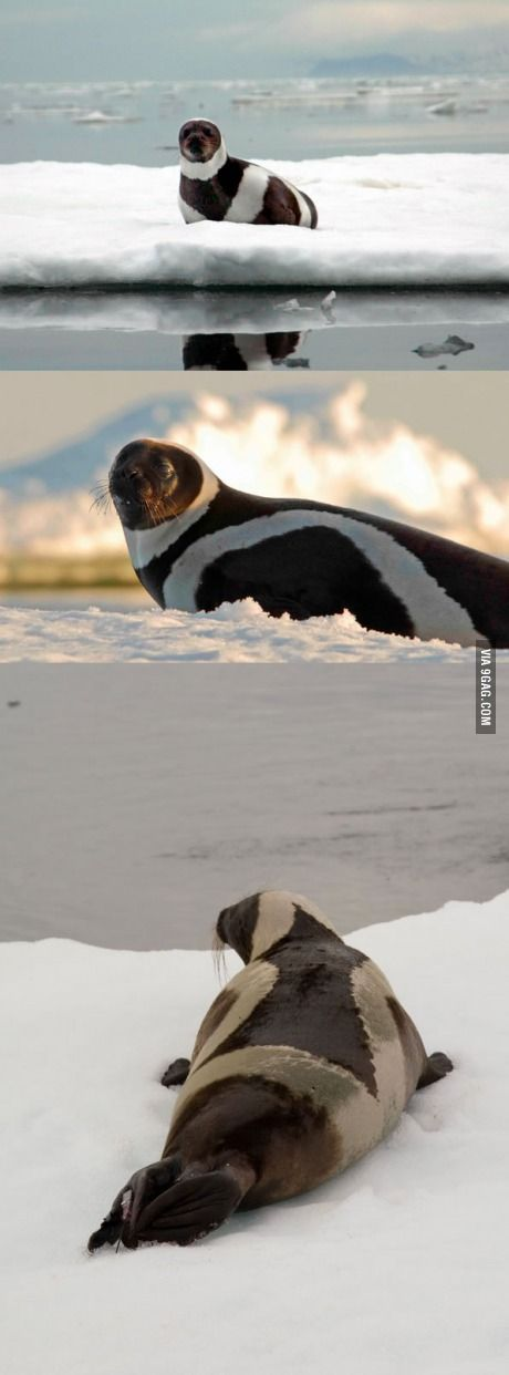 A Rare Arctic Ribbon Seal ~ Photographed Perfectly!