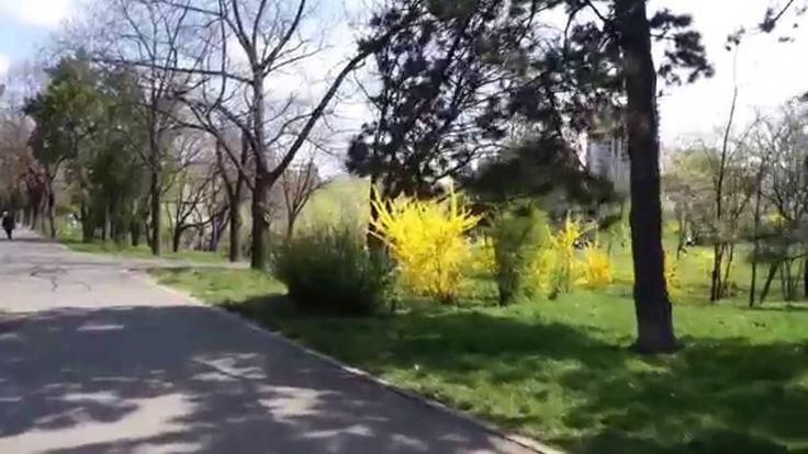 Film realizat in Parcul Circului din Bucuresti. Fostul circ Globus, circul de stat. Primavara - 27 martie 2014. Magnoliile inflorite. MAGNÓLIE, magnolii, s. f. Nume dat unor arbori exotici cu flori frumoase, mari, albe sau roșii, plăcut mirositoare, ale căror frunze sunt (la unele specii) întotdeauna verzi, cultivați ca plante decorative (Magnolia). [Pr.: -li-e] -- Din germ. Magnolie, fr., it. magnolia. sursa: http://dexonline.ro/definitie/magnolie