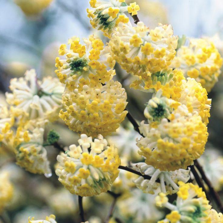 25 best ideas about edgeworthia chrysantha on pinterest for Edgeworthia chrysantha