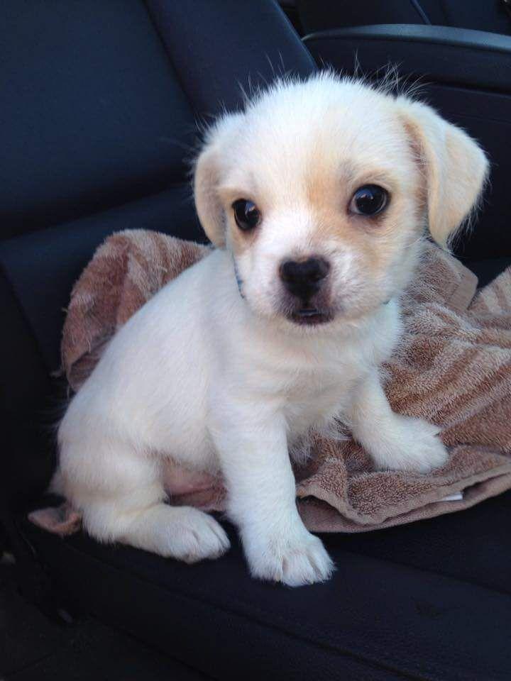 Short Haired Teddy Bear Chihuahua Mix Dog Breeds Animals Chihuahua Mix