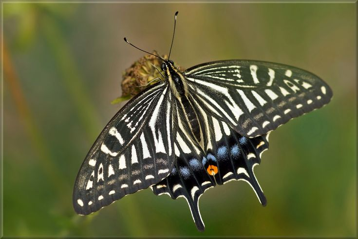 The Chinese yellow swallowtail (Papilio xuthus), too Asian swallowtail, Japanese swallowtail and xuthus swallowtail, is a yellow and black collered medium to large sized butterfly of temperate east Asia. The Chinese yellow swallowtail is found in Japan, Korean Peninsula, eastern and southern China, Taiwan, the Philippines and northern Myanmar. The butterfly is introduced in Hawaii in 1971. This species inhabits woodland, suburban gardens, city parks and citrus orchards, at elevations…