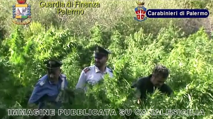 Terrasini - Scoperte 740 piante di marijuana, due arresti - http://www.canalesicilia.it/terrasini-scoperte-740-piante-di-marijuana-due-arresti/