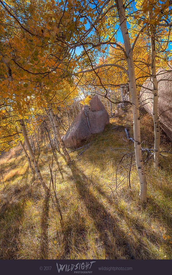In Mueller State Park, near Colorado Springs, golden aspen trees show off their fall color. This autumn colored canvas or print will bring the glow of fall foliage to any bedroom, living room, or office. Tags: Colorado fall colors, Aspen trees, autumn foliage, Colorado landscape, Mueller State Park, vertical canvas art